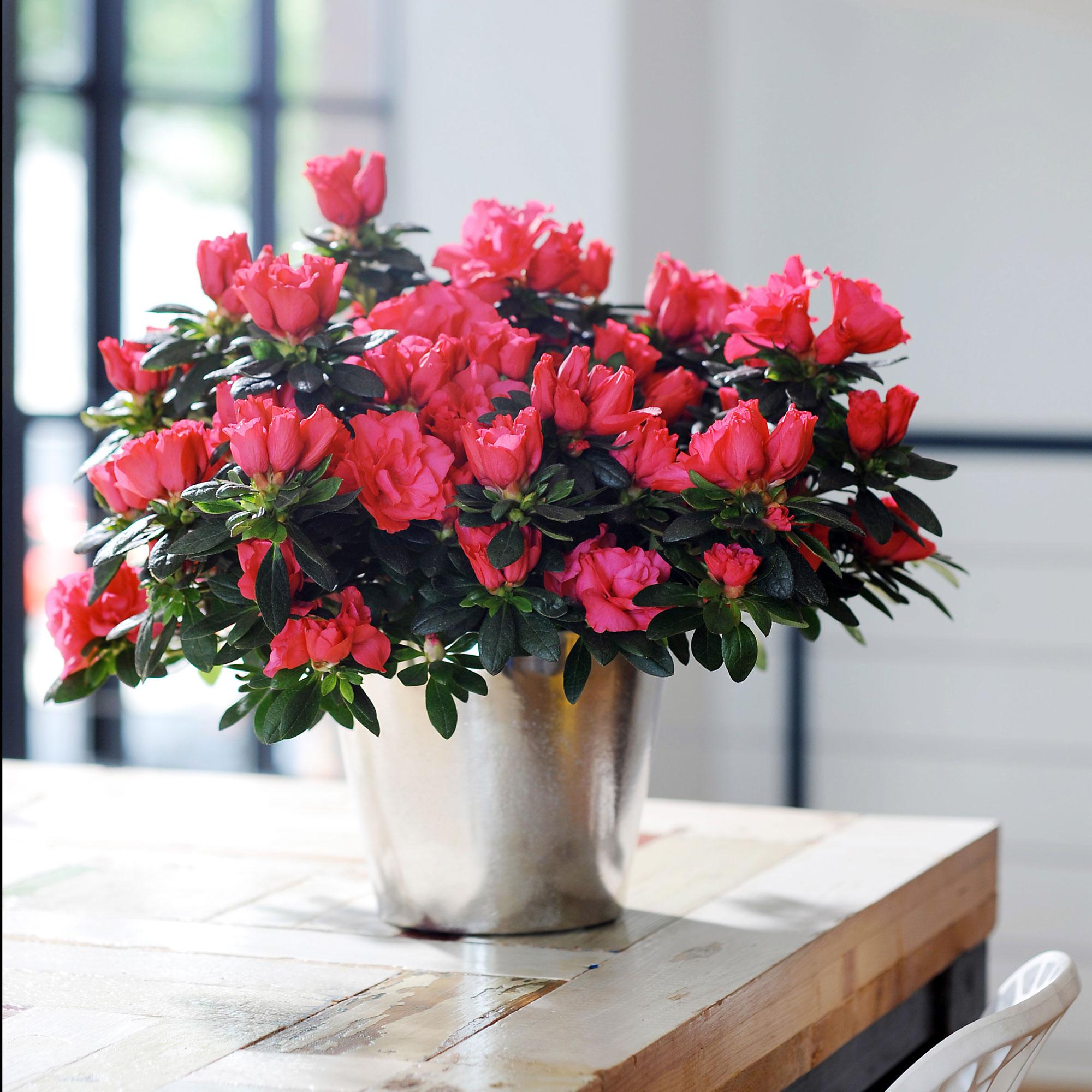 Plantes Fleuries En Pot Exterieur comment garder une azalée d'intérieur ? | gamm vert