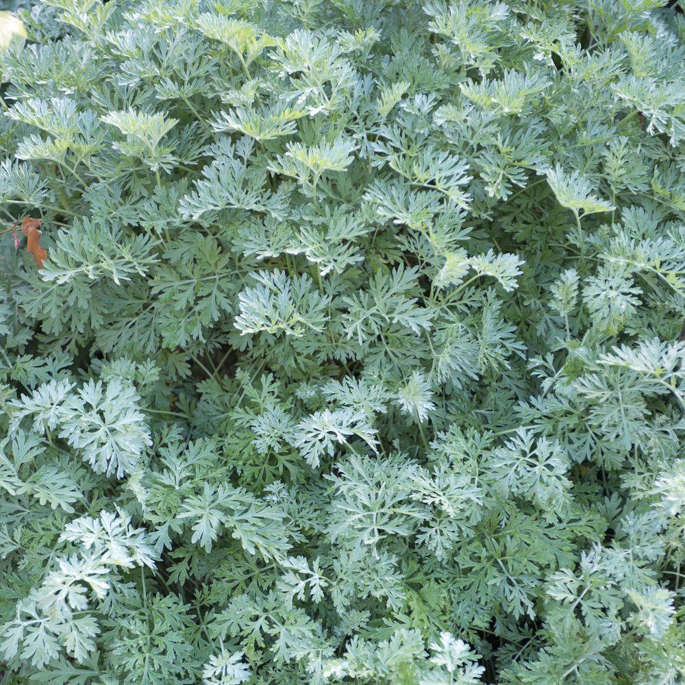 Plante Haute En Pot absinthe - plante d'extérieur | gamm vert
