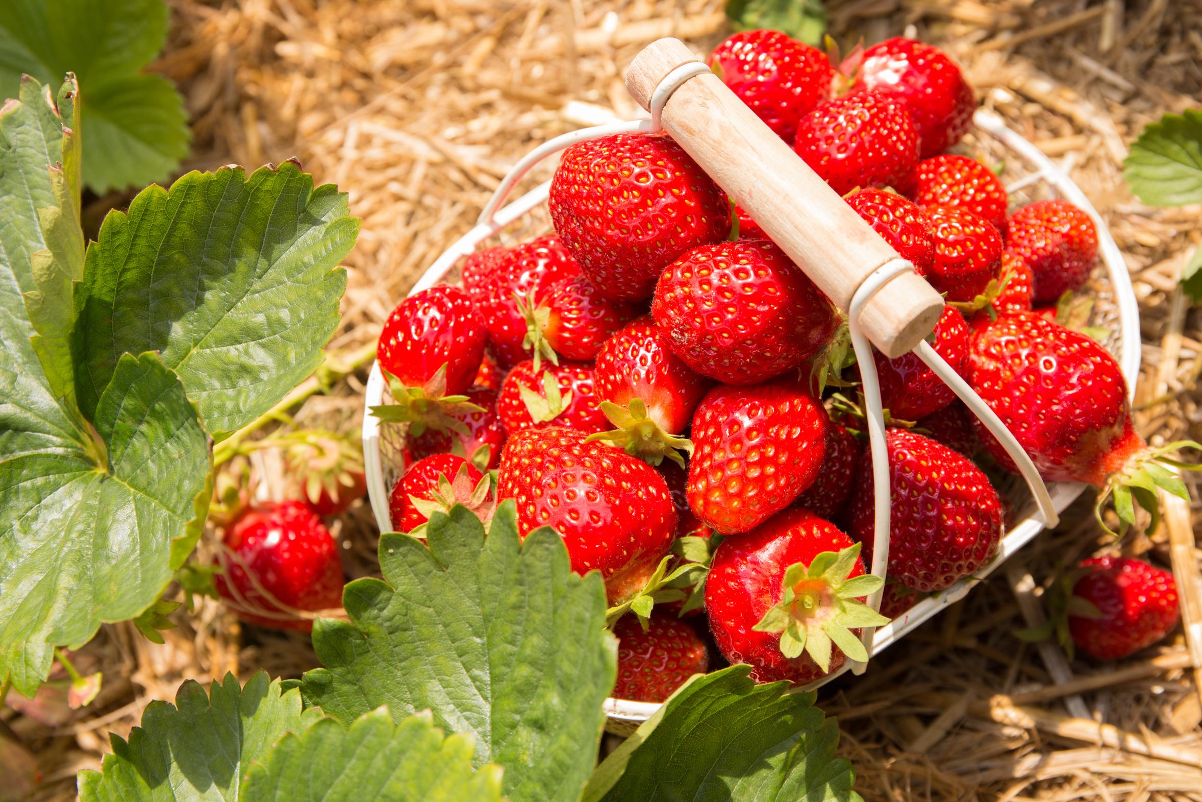 Comment Entretenir Les Fraisiers En Automne fraisier - plante d'extérieur | gamm vert