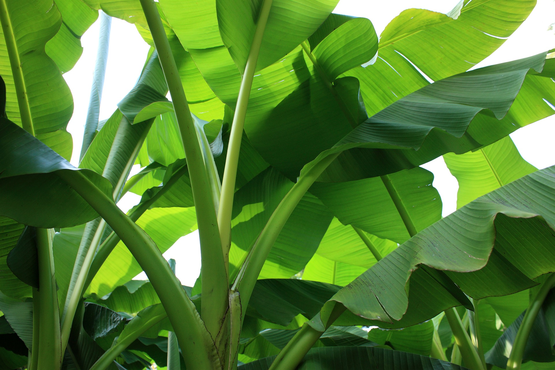 planter un bananier | gamm vert
