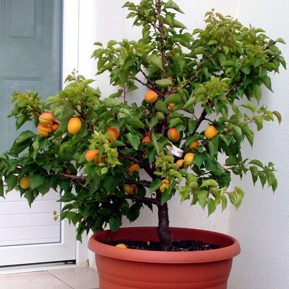 Arbre Fruitier En Pot Interieur planter un arbre fruitier nain en pot | gamm vert