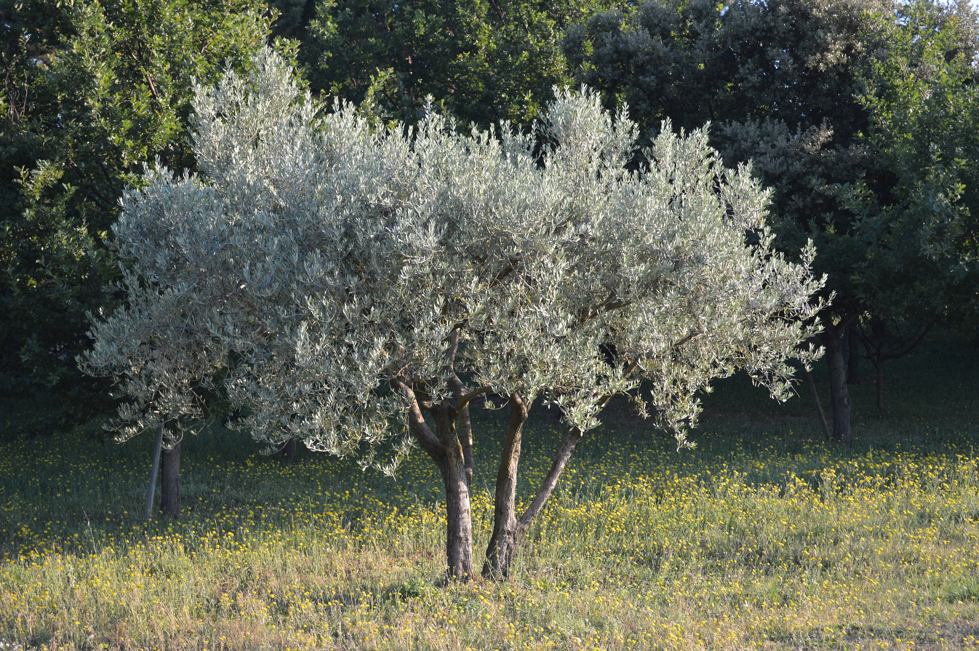 Il Cultive L Olivier olivier - plante d'extérieur | gamm vert