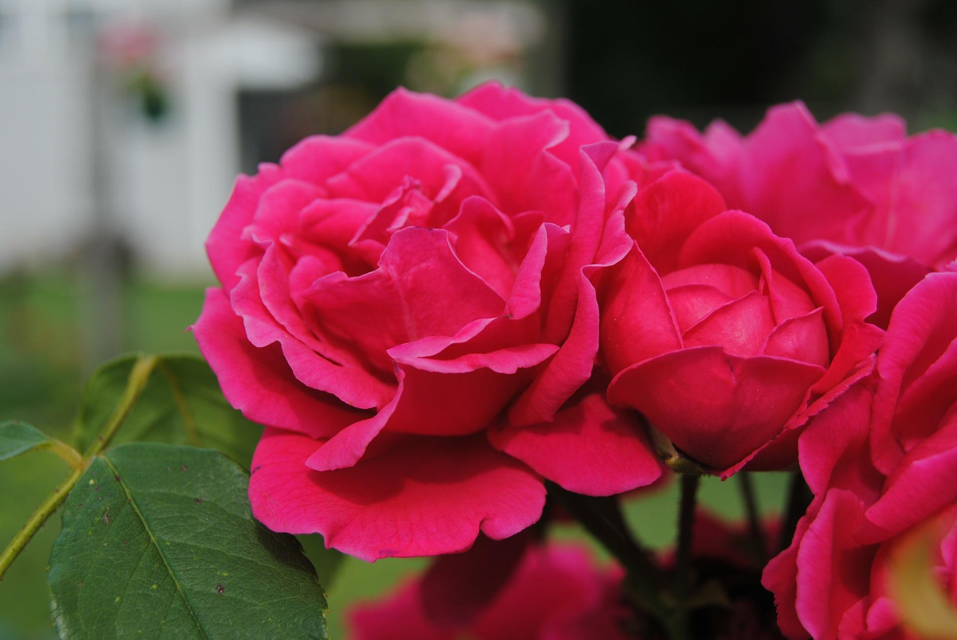 Couper Les Rosiers En Octobre planter les rosiers | gamm vert