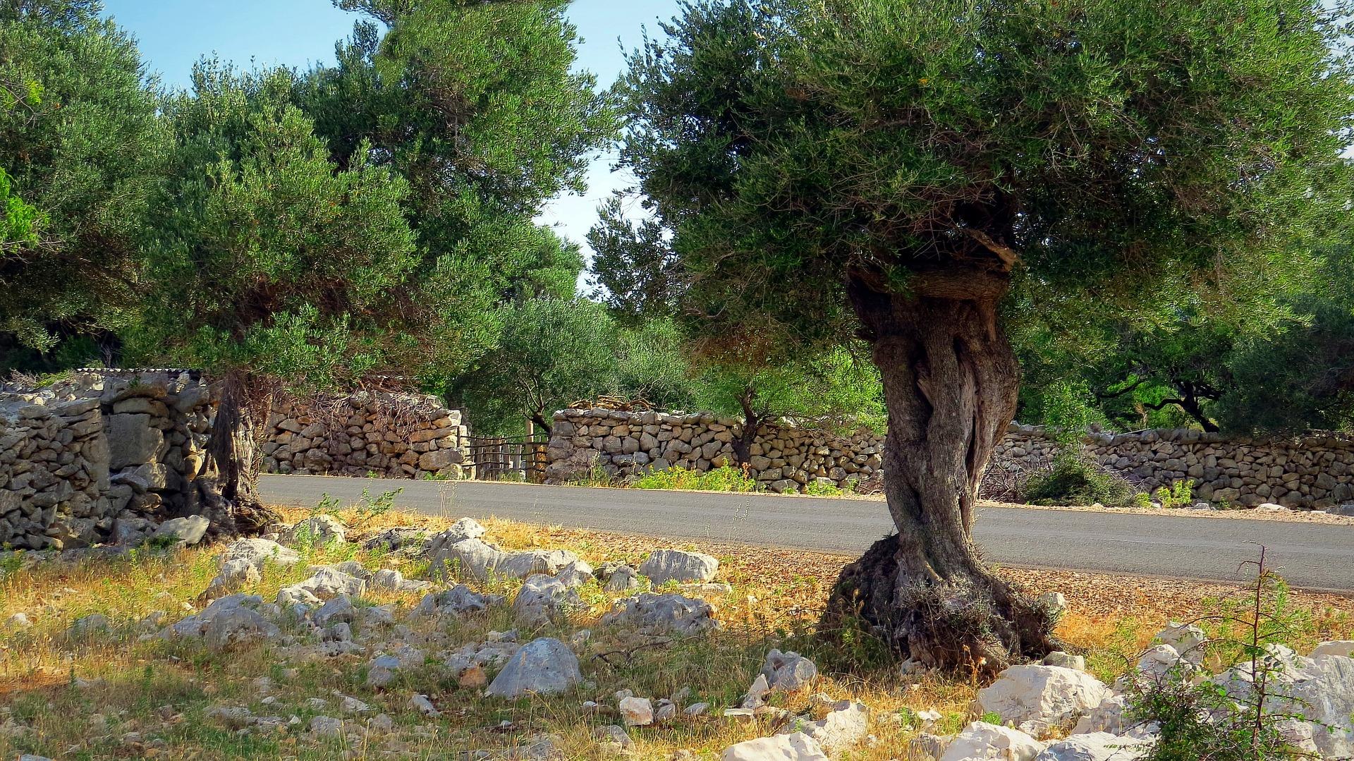 Plantes Pour Terrasse Sud Est planter un olivier | gamm vert