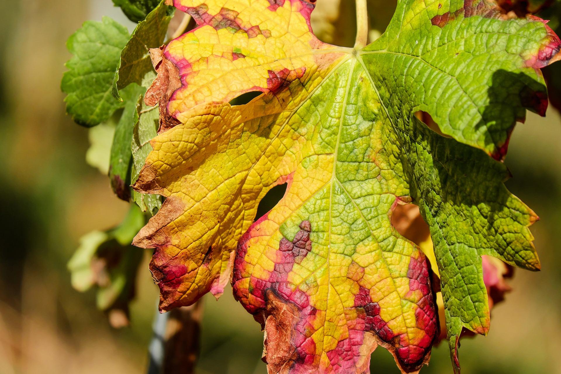 Comment Planter Une Vigne Grimpante maladies de la vigne : mildiou, oïdium…   gamm vert