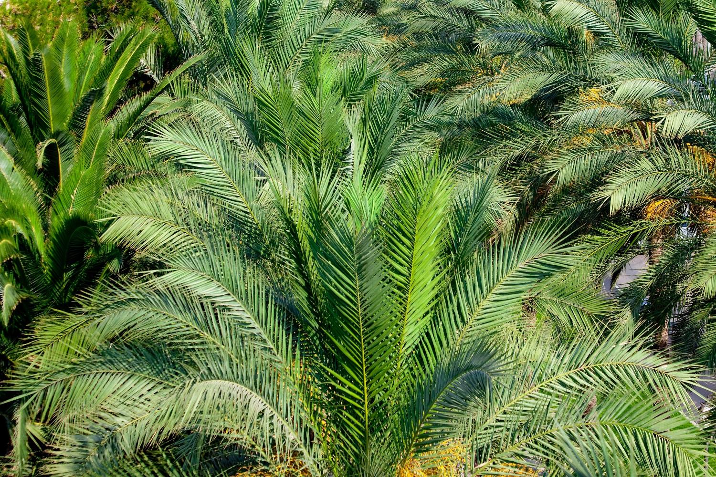 Palmier Plante D Exterieur Gamm Vert