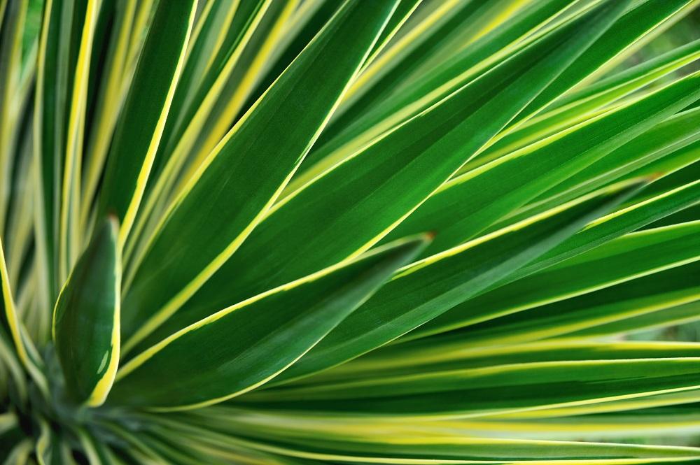 Yucca Plante D Interieur Gamm Vert