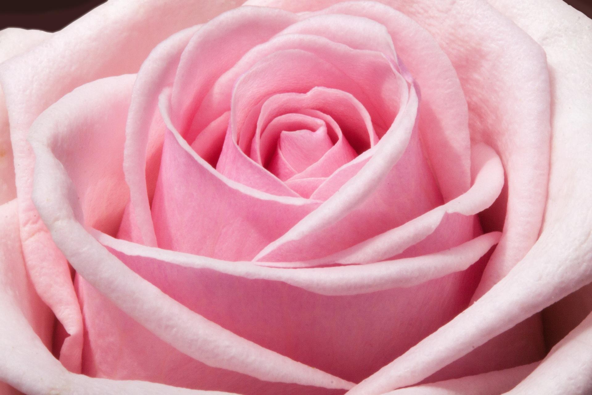 Couper Les Rosiers En Octobre rosier - plante d'extérieur | gamm vert