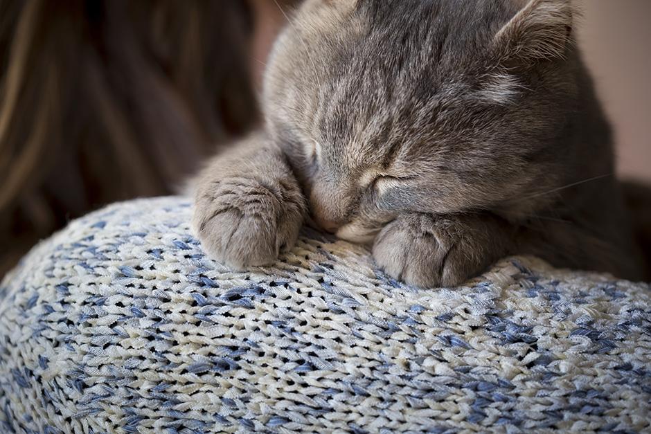 les 10 races de chats les plus affectueux