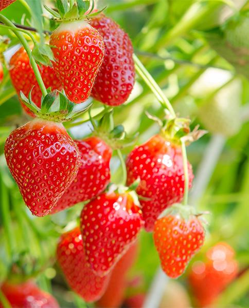 planter des fraisiers en pot | gamm vert