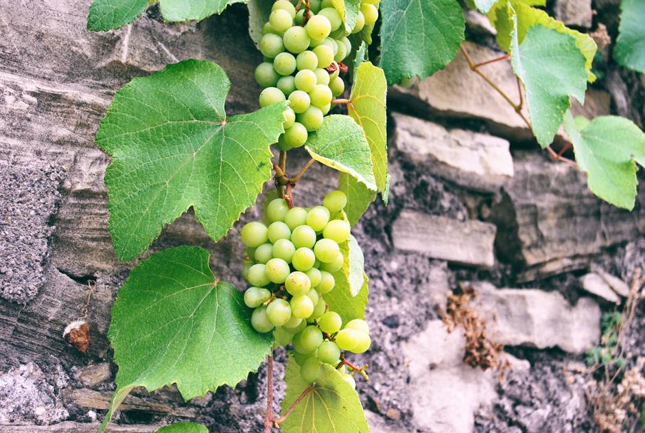 Les plaisirs des jardins - Anna de Noailles AdobeStock_123872145-vigne_0