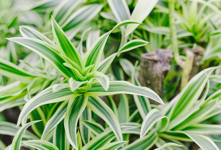 Dracaena - Plante d'intérieur   Gamm vert