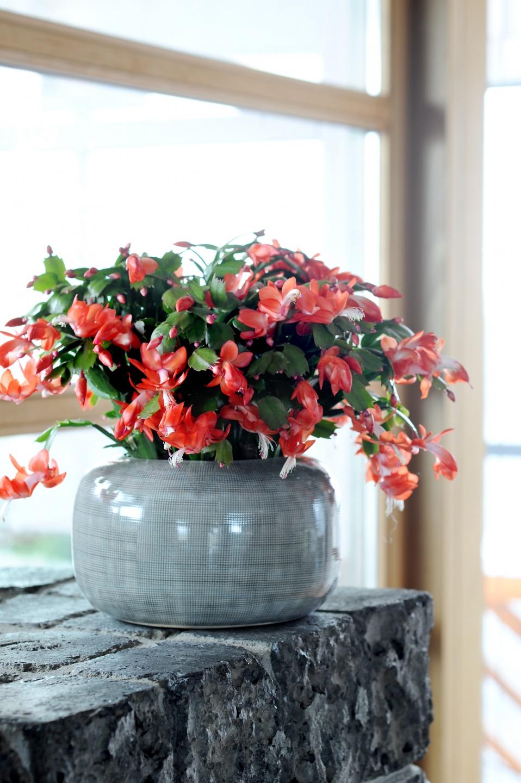 10 plantes d int rieur fleuries et faciles vivre gamm vert. Black Bedroom Furniture Sets. Home Design Ideas