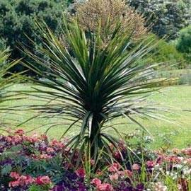 Plantes et jardins - Cordyline feuilles qui jaunissent ...