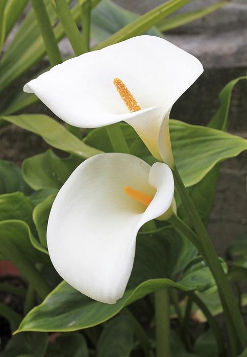 Coloriage Fleur Arum.Arum Plante D Exterieur Gamm Vert