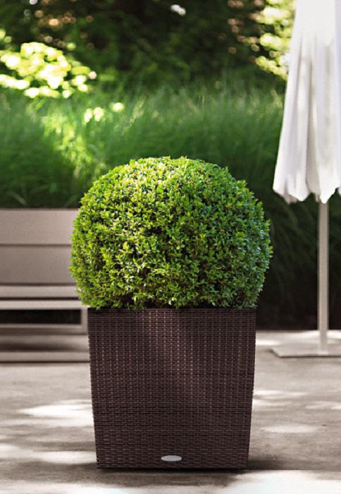 planter le buis gamm vert. Black Bedroom Furniture Sets. Home Design Ideas