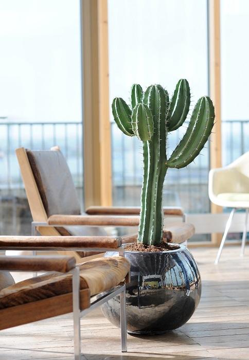 Cactus et plantes grasses entretien rempotage gamm vert for Cactus para interior