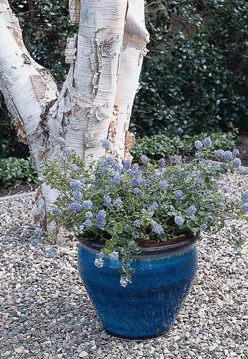 C anothe plante d 39 ext rieur gamm vert for Arrosage hibiscus exterieur