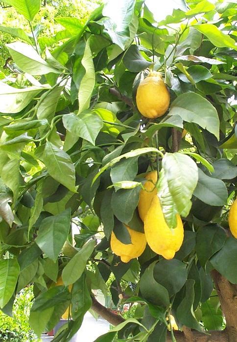Planter les agrumes orangers citronniers gamm vert - Laurier comestible comment reconnaitre ...