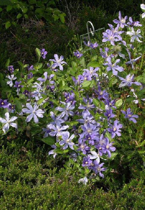 Cl matite plante d 39 ext rieur gamm vert for Plantes grimpantes exterieur