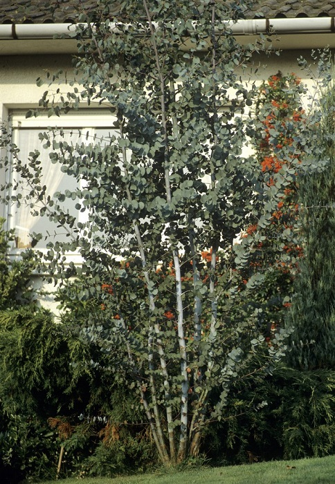 Eucalyptus plante d 39 ext rieur gamm vert - Planter un eucalyptus dans son jardin ...