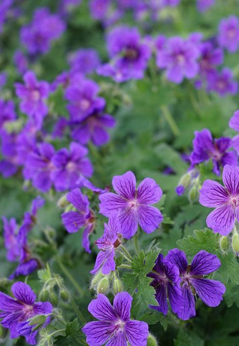 Les 8 Meilleures Varietes De Geraniums Vivaces Gamm Vert