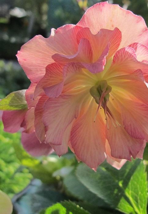 Hellebore Ou La Rose De Noel Plante D Exterieur Gamm Vert
