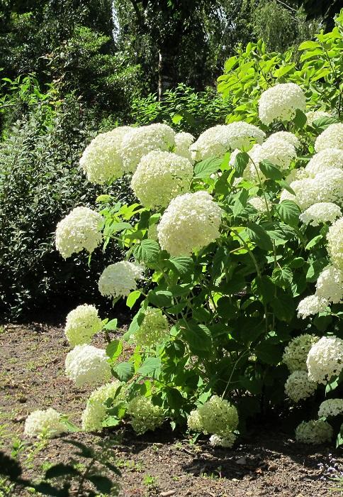 hortensia plante d 39 ext rieur gamm vert. Black Bedroom Furniture Sets. Home Design Ideas