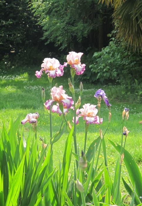 dedoubler les iris