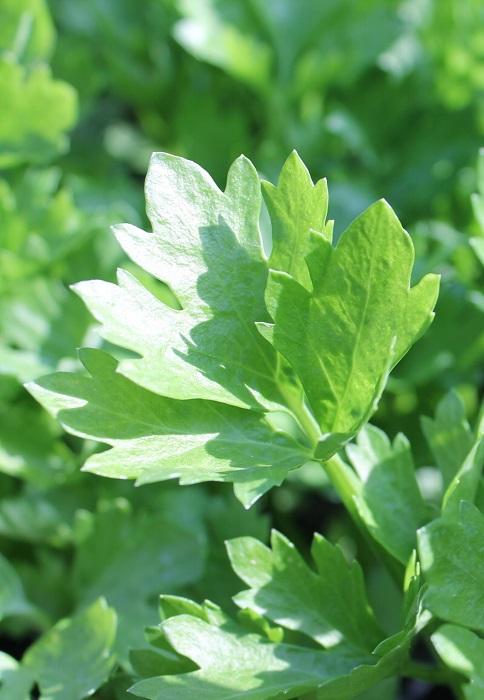semer et planter le persil | gamm vert