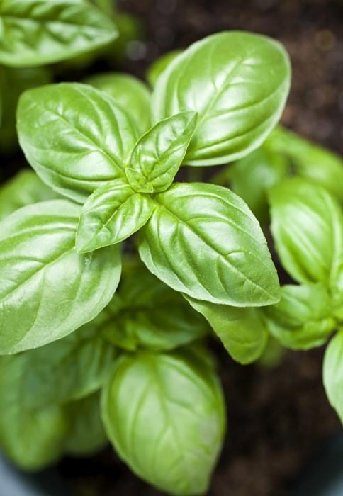 Cuisiner avec les plantes aromatiques gamm vert for Plantes aromatiques
