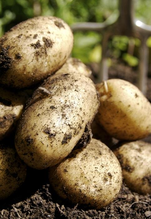 récolter les pommes de terre | gamm vert