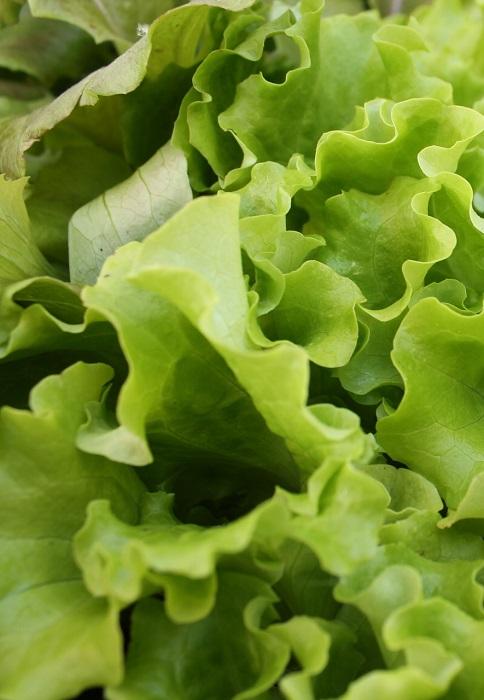 semer des salades d 39 hiver gamm vert. Black Bedroom Furniture Sets. Home Design Ideas