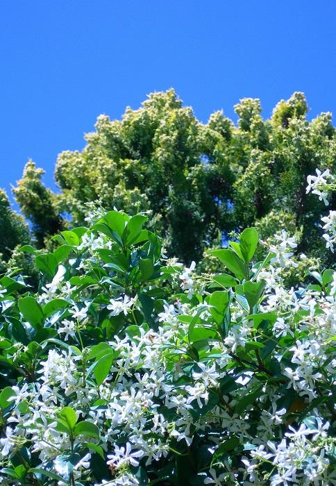 Trachelospermum ou jasmin toil plante d 39 ext rieur - Taille du jasmin etoile ...