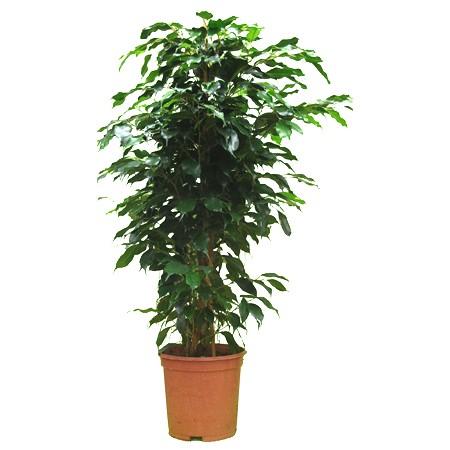 plante verte ficus