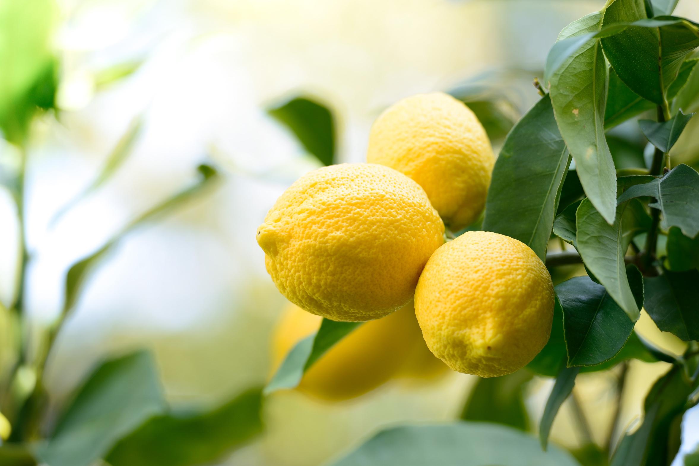 Comment Cultiver Un Citronnier En Pot planter un citronnier en bac   gamm vert