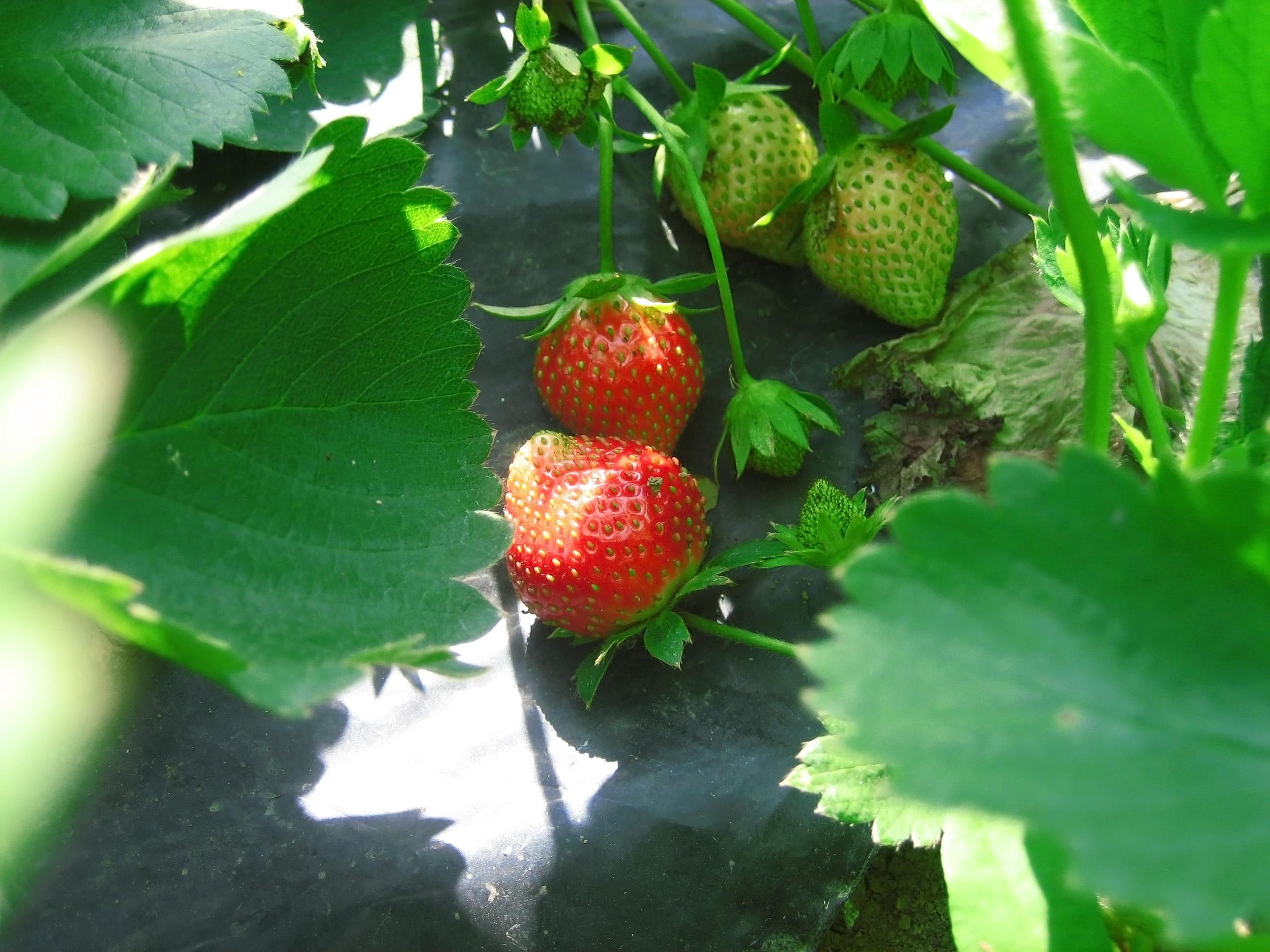 Comment Entretenir Les Fraisiers En Automne maladies des fraisiers | gamm vert