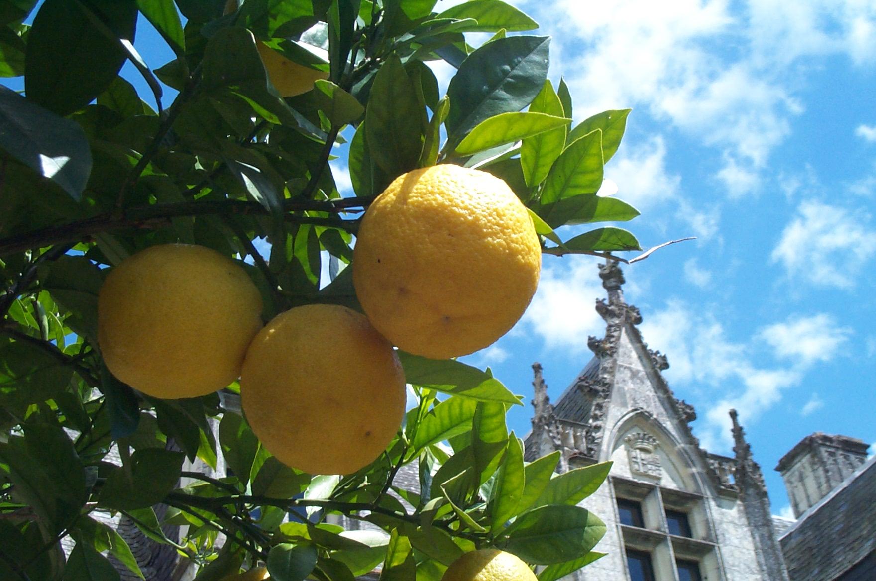Comment Cultiver Un Citronnier En Pot planter les agrumes (orangers, citronniers)   gamm vert