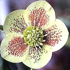 Plantes et jardins for Plante rose de noel