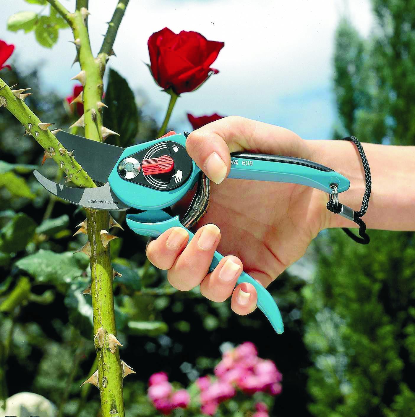 Quand Et Comment Tailler Un Rosier taille des rosiers arbustifs ou buissons | gamm vert
