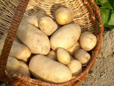 Pomme de terre de la culture la r colte dossiers - Pomme de terre sous paille ...