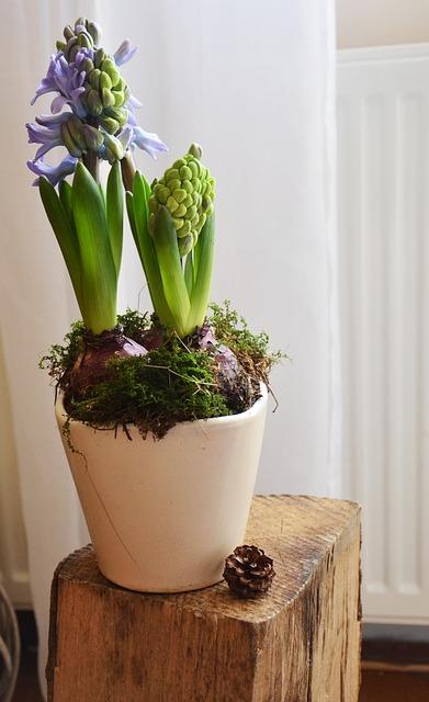 faire fleurir une jacinthe pour no l gamm vert. Black Bedroom Furniture Sets. Home Design Ideas