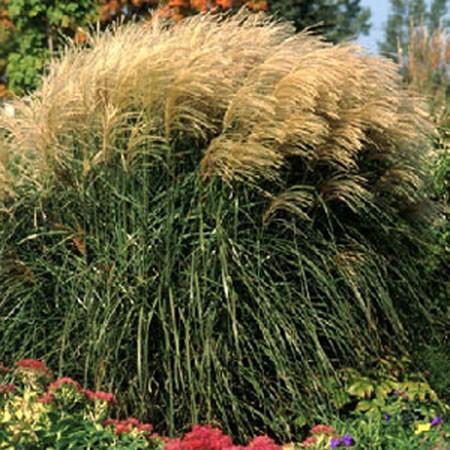 Plantes et jardins for Quand tailler les graminees