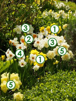bulbes de printemps au jardin narcisses l 39 honneur. Black Bedroom Furniture Sets. Home Design Ideas