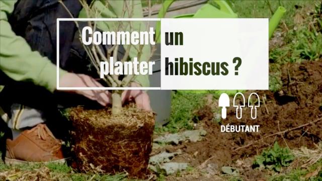 5 astuces pour réussir les hibiscus d\'extérieur | Gamm vert