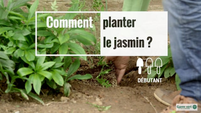 Planter Le Jasmin Gamm Vert