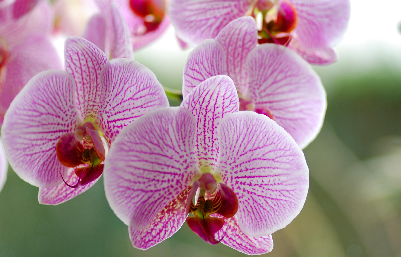 Comment S Occuper D Un Orchidée phalaenopsis - plante d'intérieur | gamm vert