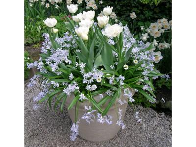 fleurs blanches en pot. Black Bedroom Furniture Sets. Home Design Ideas