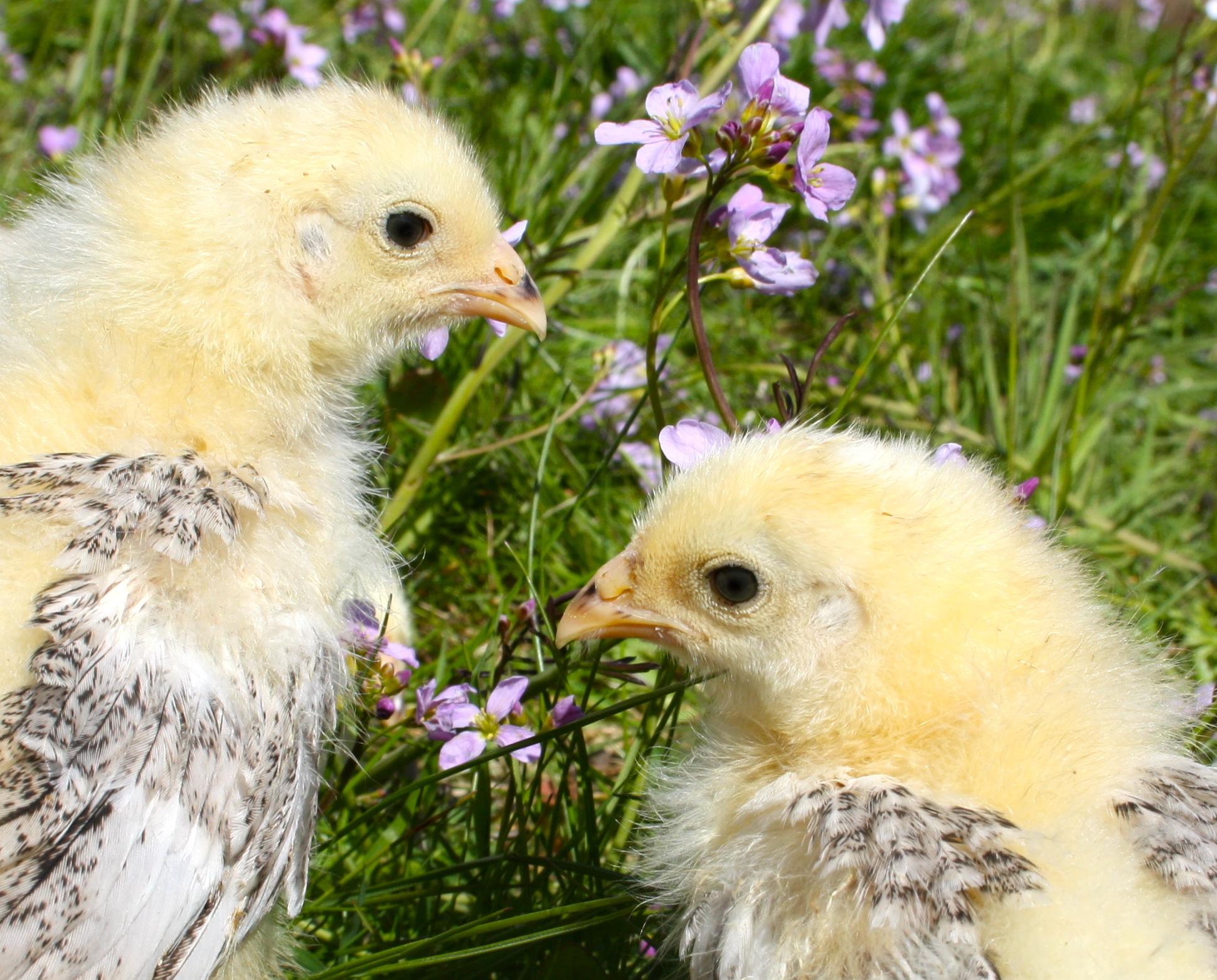 Mettre Des Poules Dans Son Jardin elever des poussins dans son jardin | gamm vert
