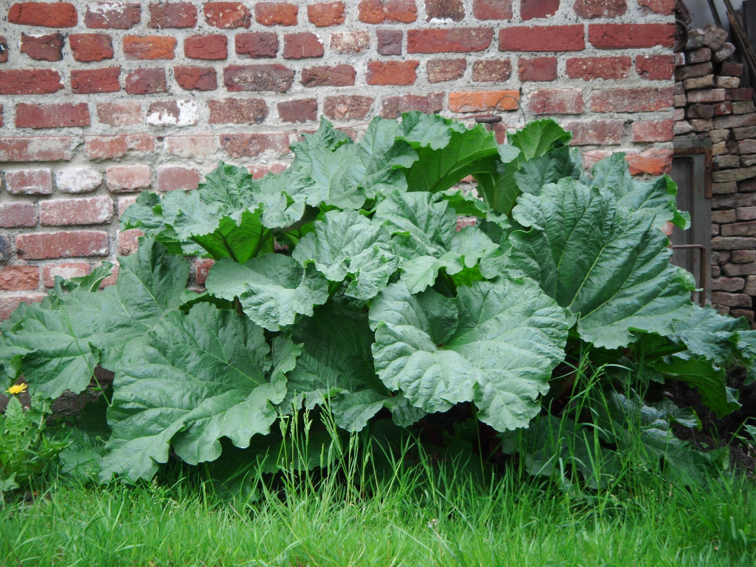 Culture Et Entretien De La Rhubarbe planter la rhubarbe | gamm vert